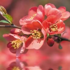 Фотообои Цветущая вишня DECOCODE 21-0225-FR (200х280см)