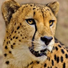 Декоративное панно Леопард 196х134 (4л)